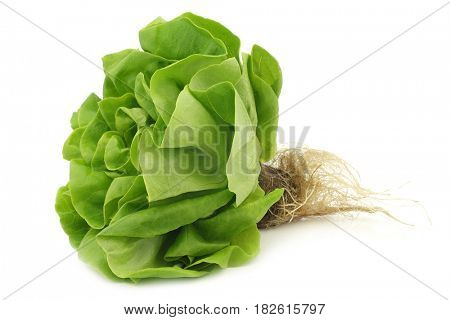 fresh lettuce with roots still on on a white background