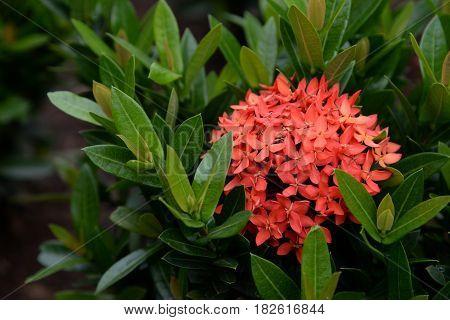 Red Ixora tropical flower blooming in garden