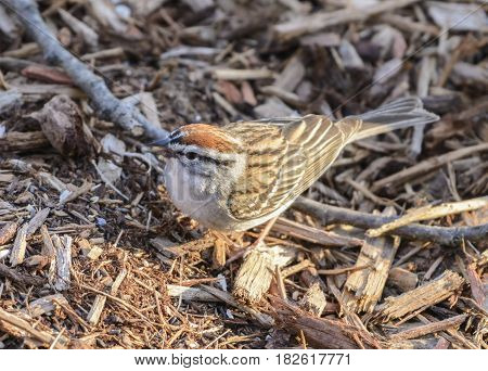 A Chipping Sparrow (Spizella passerina) forages on the ground for food in the springtime in Sussex County NJ USA.