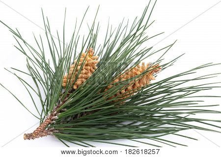 Isolated Bouquet Of Several Pine Branches With Yellow Flowers
