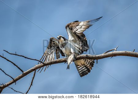Osprey on a tree branch holding a freshly caught fish talons