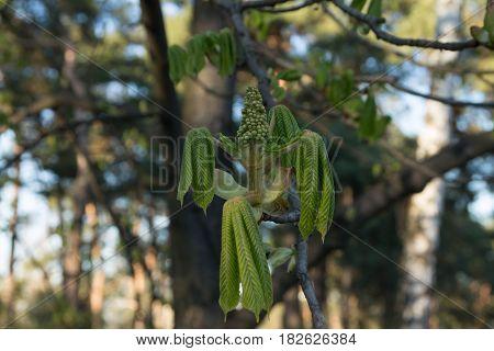 Beginning Of Flowering Chestnuts. The Beginning Of Spring. Chestnut Sprouts. Chestnuts Symbol Of Kyi