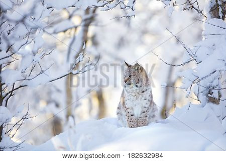 Close-up of a beautiful young european lynx cat cub sitting in the cold snow in the winter forest.