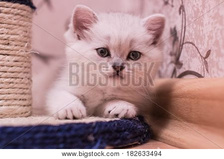 British Kitten White Chinchilla Lies On Cat Scratching Post