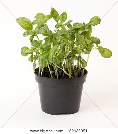 Basil In Flowerpot On White Background. Plant In Flowerpot