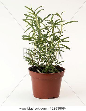 Rosemary In Flowerpot On White Background. Plant In Flowerpot