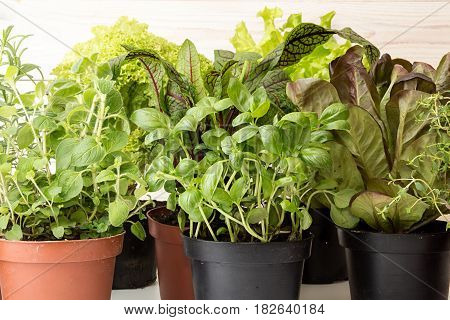 Herbs and lettuces in flowerpots on white wooden background. Live groving plants in flowerpots: butterhead salanova red rosemary thyme oregano basil sage sorrel