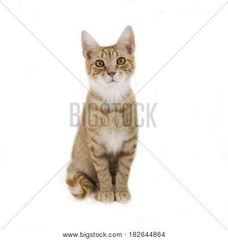 Ginger mixed breed cat 6 months old sitting
