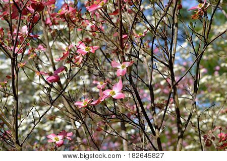 DOGWOOD TREES, PINK AND WHITE, SKY IN BACKGROUND.