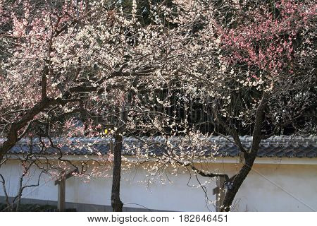 Plum Grove In Kodokan, Mito, Ibaraki, Japan