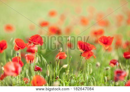Poppy farming, nature, agriculture concept - close up of red blooming poppy flowers over agriculture field background - empty space for text