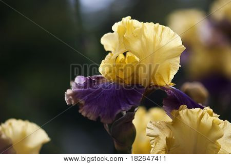 The yellow and purple petals for an iris flower are sprinkled with dewdrops in springtime.