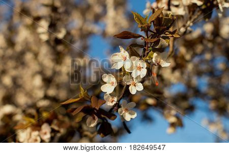 Beautiful springtime tree in blossom with white flowers