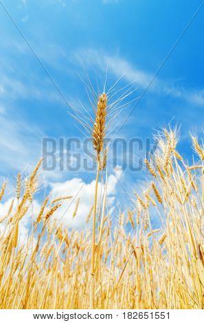 golden agricultural field. ripe crop. soft focus