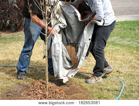 Female and male gardener working together outside planting a new tree.