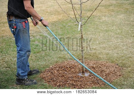 Male gardener planting a new tree in the front yard outdoors.