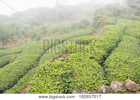 Fujian, China - Dec 24 2015: Tea Plantation In Xiping Old Town. A Famous Historic Site In Xiping, An