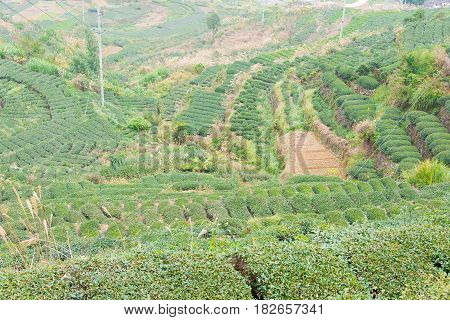 Fujian, China - Dec 24 2015: Tea Plantation In Xiping Town. A Famous Historic Site In Xiping, Anxi,