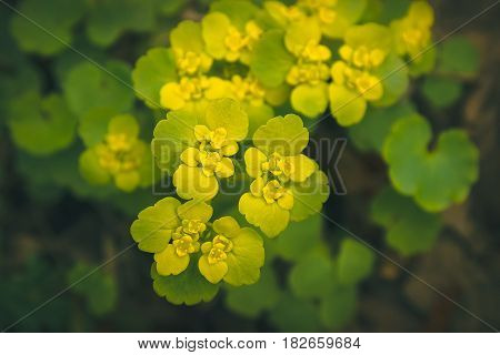 Yellow Opposite Leaved Golden Saxifrage - Chrysosplenium oppositifolium background texture