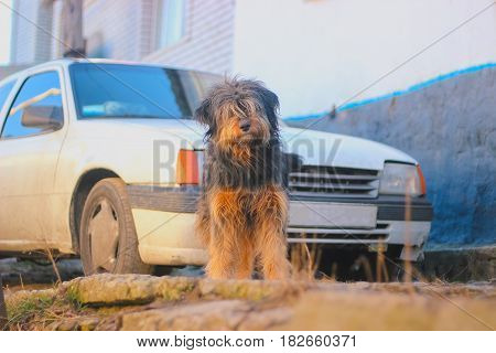 Lonely homeless dog stay on sidewalk at the spring near vintage car