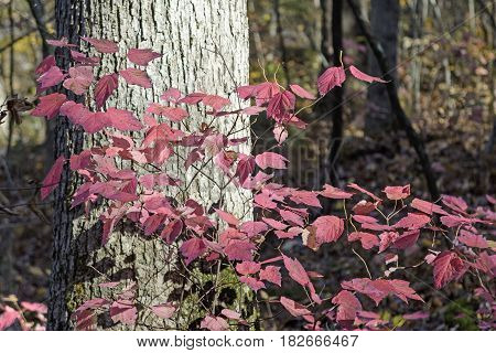 Pink Leaves in the Fall Forest in Devils Lake State Park in Wisconsin