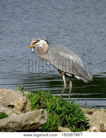 A Great Blue Heron (Ardea herodias) with a fish in its mouth.