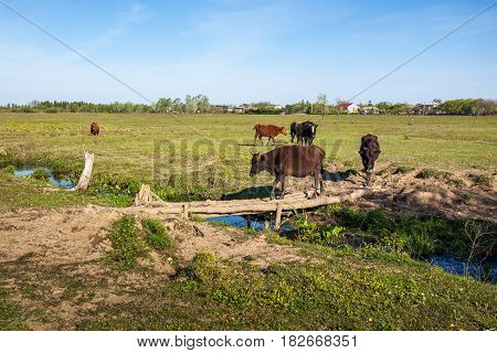 Cows Cross A Wooden Bridge On A Small River