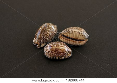 Three Arabian cowry sea shells (Mauritia arabica)