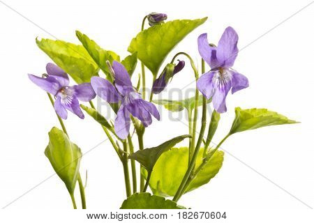 A few blossoming wild violets close up.Violets isolated on a white background.