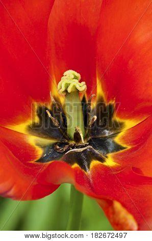 Close up macro of red tulip in full bloom