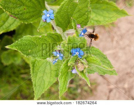 A Bee Seen Side On Collecting Pollen From A Small Blue Flower With Big Green Leaves Its Wings Moving