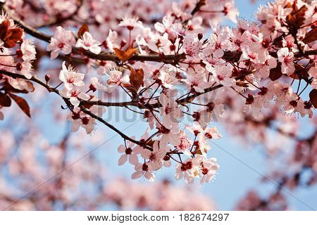 Branch of cherry tree with flowers at the earlier spring with copy space