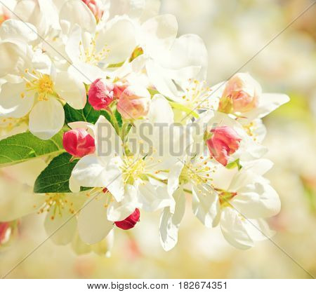 Apricot tree branch with flowers in early spring with copy space