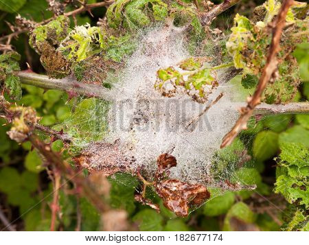 A White Spider Web Silk Web Full Of Ice And Bubbles Of Water After A Rain Pour Down On A Wet Overcas