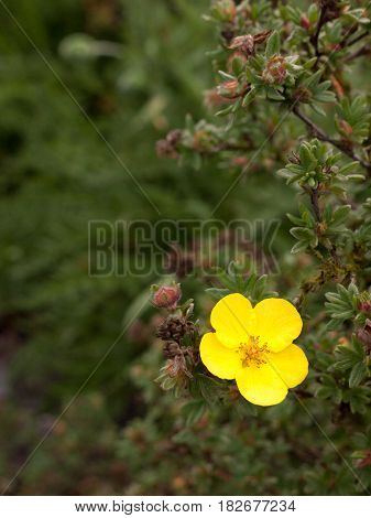 A Wonderful Sharp And Closeup Buttercup Flower On A Tree Opened Up With A Blurred Background In Day