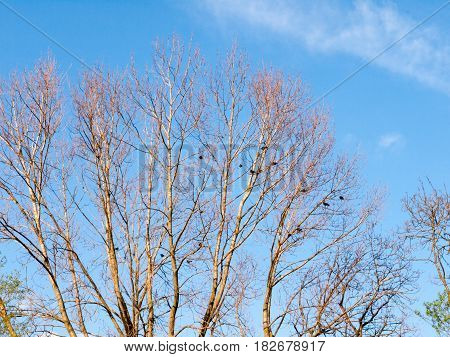 The Top Of A Tree With No Leafs And Bare Branches With Crows And Raven And Rooks Resting And Sitting