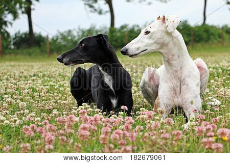 Galgos are lying in a clover field