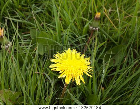 A Single Yellow Daffodil In Spring On The Grass By Itself In The Day Light Shining