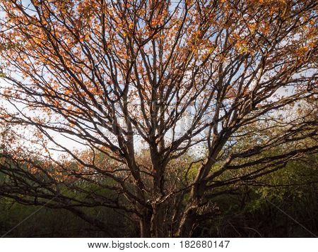 A Gorgeous Autumn Tree With Sunset Light Cast Over Half Of It And Golden Red Leaves And Bare Branche