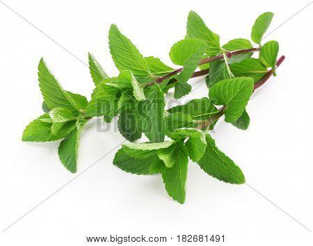 yerba buena, hierba buena, mojito mint, cuban mint