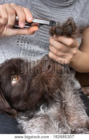 hands of woman trimming toenails of dog with clipper