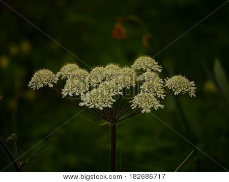 Sideways view of white cow parsley (Anthriscus sylvestris) flower