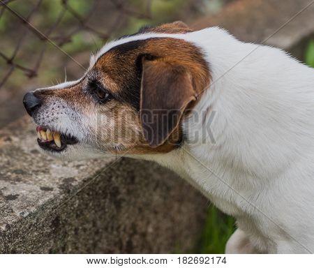 Bad white Jack Russel Terrier whit tartar