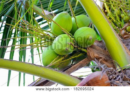 many Green Coconut fruit on coconut tree
