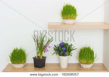 fresh green grass in soil and spring flowers on shelf on white wall background