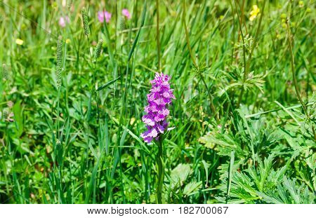 blooming vivid wild purple Foxglove (Digitalis ) flowers against green grass background plant known for its poisonous effect also grown as ornamental