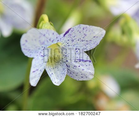 The unusual white spotted flowers of Viola sororia 'Freckles', also known as the common violet, or wood violet, growing in a natural setting.