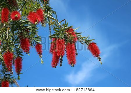 The weeping bottlebrush (Calistemon viminalis) tree with red flowers and a blue sky background