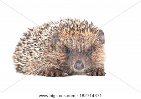 Portrait of adorable hedgehog isolated on white background