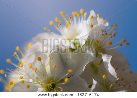 Flowers... In spring blossoming flower macro photo